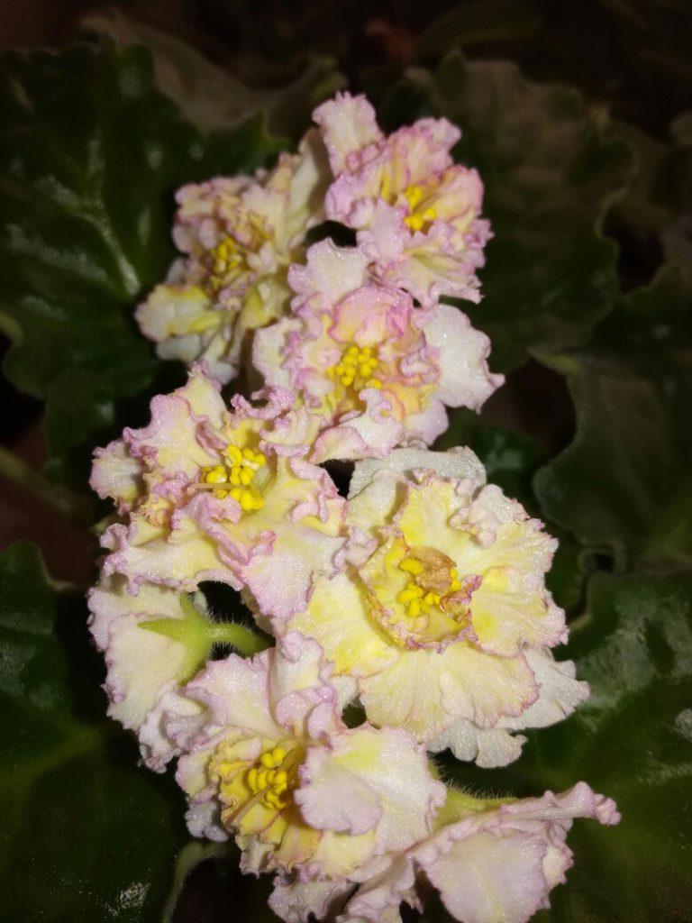 Как таковые насыщенные огненные фиалки вывести не удалось — растение не содержит желтого гена.